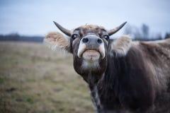 Gepflegte Kuh, die die Kamera auf dem Rasen im Fall untersucht Lizenzfreie Stockbilder