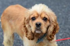 Gepflegter Cocker spaniel-Hund mit blauem Kragen und Tag lizenzfreies stockfoto