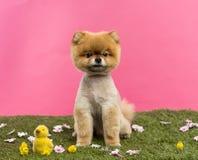 Gepflegter Pomeranian-Hund, der im Gras mit Blumen und in den Küken sitzt Stockfotos