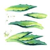 Geplaatste de bladeren van de agaveinstallatie Hand getrokken die waterverfillustratie, op witte achtergrond wordt geïsoleerd royalty-vrije illustratie
