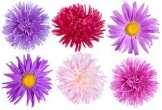 Geplaatste de bloemen van de aster royalty-vrije stock foto