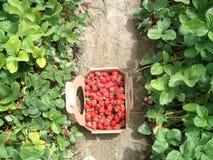 Geplukte aardbeien Stock Afbeelding