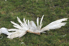Geplukte veren van watervogels Royalty-vrije Stock Afbeelding