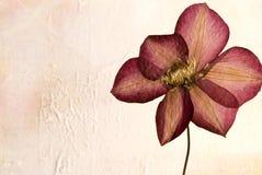 Gepresste Clematisblume Stockfotografie