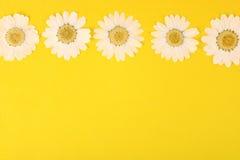 Gepresste Gänseblümchen auf Gelb Stockfotos