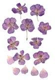 Gepresste gesetzte Perspektive der purpurroten Pelargonie lizenzfreie stockbilder