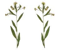 Gepresste getrocknete Niederlassungsfrühlings-Feldblume Herbarium von wilden Blumen Lizenzfreies Stockfoto