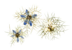 Gepresste nigella Blumen Stockfotos