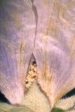 Gepresste purpurrote Blumenblätter Lizenzfreie Stockfotografie
