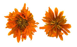 Gepresste und getrocknete Chrysanthemenblume, lokalisiert stockfoto