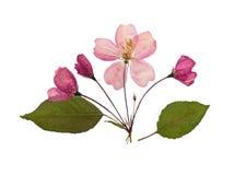 Gepresste und trockene Blume des Applebaums Getrennt Lizenzfreie Stockfotos