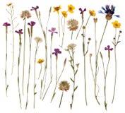 Gepresste wilde Blumen Stockfoto
