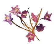 Gepresstes Mehrfarben-Aquilegia mit den verdrängten getrockneten Lilienblumenblättern, p stockfotos