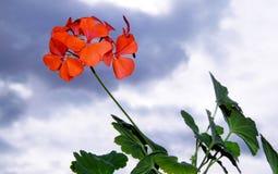 Gerânio bonitos em um fundo das nuvens Foto de Stock
