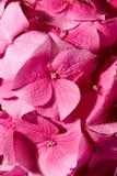 Gerânio cor-de-rosa Imagem de Stock Royalty Free