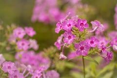 Gerânio cor-de-rosa Imagens de Stock