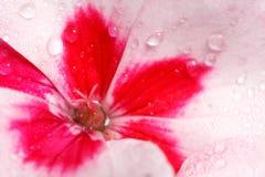 Gerânio cor-de-rosa e branco com esquerda do pistil center imagens de stock royalty free
