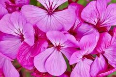 Gerânio cor-de-rosa escuros Imagem de Stock Royalty Free