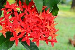 Gerânio da selva (coccinea de Ixora). Close-up. Imagens de Stock Royalty Free