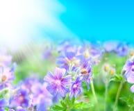 Gerânio de florescência do início do verão Imagem de Stock