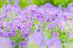 Gerânio de florescência do início do verão Imagem de Stock Royalty Free