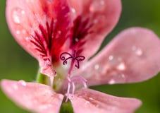 Gerânio de Rosa Foto de Stock Royalty Free