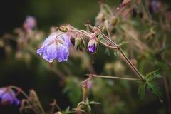 Gerânio do prado Gerânio de florescência com as flores lilás entre a grama Planta medicinal Tiro da noite Imagens de Stock Royalty Free