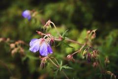 Gerânio do prado Gerânio de florescência com as flores lilás entre a grama Planta medicinal Tiro da noite Foto de Stock
