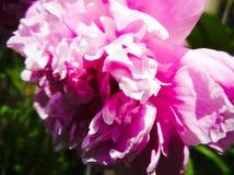 Gerânio na flor Imagem de Stock Royalty Free