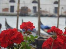 Gerânio Venetian Foto de Stock