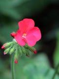 Gerânio vermelho Imagem de Stock Royalty Free