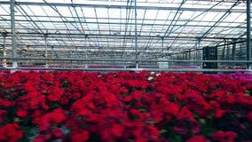 Geräumiges Gewächshaus mit viel von schönen Blumen stock footage