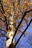 Ger ljus skönhet för björken av skogar, folkglädje, fred och hopp arkivfoto