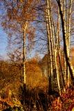 Ger ljus skönhet för björken av skogar, folkglädje, fred och hopp arkivfoton