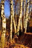 Ger ljus skönhet för björken av skogar, folkglädje, fred och hopp royaltyfri foto