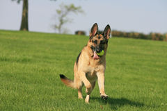 German Shepherd running with ball Royalty Free Stock Images