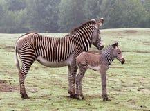 Geração da zebra Fotografia de Stock Royalty Free