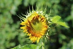 Gerade öffnende Sonnenblume Stockfotos