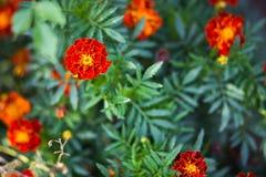 Gerade Ansicht des Blütenstaubs einer schönen Anlage mit netten orange Blumen Lizenzfreie Stockbilder