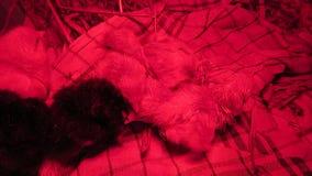 Gerade ausgebrütet mit ruhigen nassen Federn unter einem roten Wärmer in den kleinen netten Küken einer Kiste vom Huhn stock video