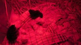 Gerade ausgebrütet mit ruhigen nassen Federn unter einem roten Wärmer in den kleinen netten Küken einer Kiste vom Huhn stock footage