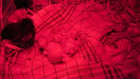Gerade ausgebrütet mit ruhigen nassen Federn unter einem roten Wärmer in den kleinen netten Küken einer Kiste vom Huhn stock video footage