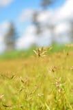 Gerade blüht ein kleiner Stern goldene Felder aber ein so großes in meinem Kopf Stockfotografie
