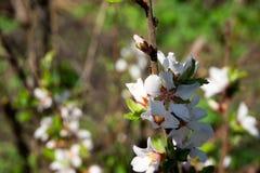 Gerade ein geregnet Blühender Baumastabschluß oben lizenzfreies stockfoto
