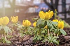 Gerade ein geregnet Gelbe Blumen auf Wiese im Stadtpark stockfotos