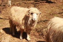 Gerade ein sehr altes Schaf, das deprimiert schaut lizenzfreie stockfotos