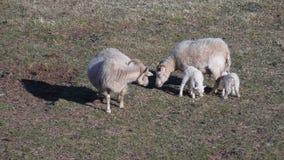 Gerade geborene Lämmer mit Mutter Elternteil-Zuchttiere lizenzfreies stockbild