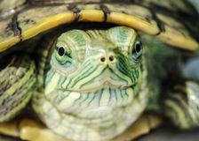 Gerade Lächelnschildkröte Lizenzfreie Stockfotografie