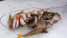 Gerade liegt aufgefangenes zander auf Eis Fische fingen das Lügen im Schnee stock footage