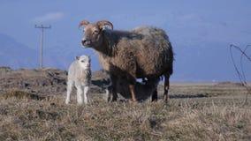 Gerade neugeborene Doppellämmer mit Mutter auf Weide stockbild